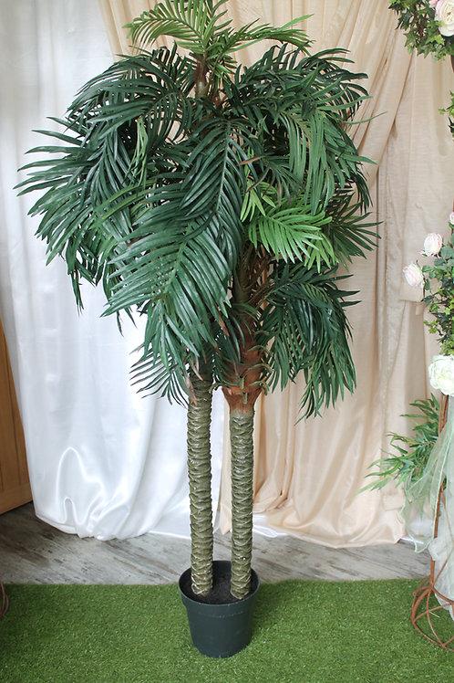 LOC003 - Areca Palm 2.10m (2 troncs)