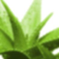 Aloe-Vera-540x540.jpg