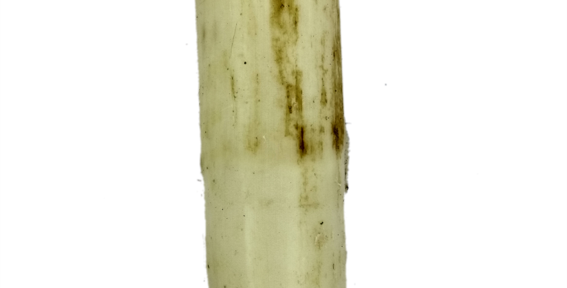 Banana stem | থোর