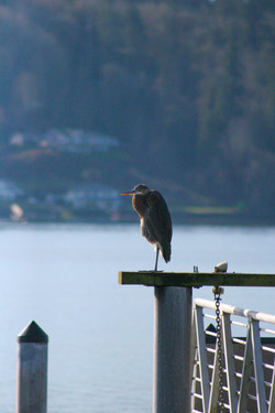 Gig Harbor Bird 2
