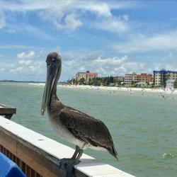 Model Pelican