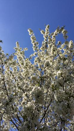 Cheery Cherry Blossoms