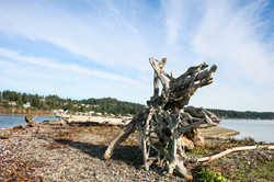 Fox Island Sandspit Driftwood