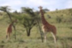 giraffes-Lewa.jpg