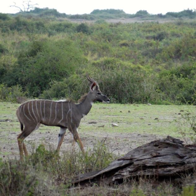 Kudu 20131201 0779_1.jpg