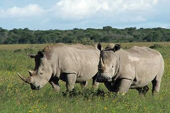 Ol-Pejeta-Rhinos.jpg