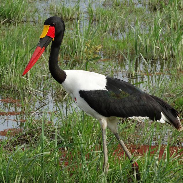 Bird saddle billed stork 20150221 0781_edited.JPG