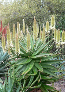 "Sunbird Aloes ""Ivory Tower"""