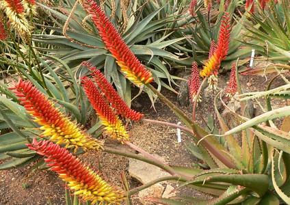 "Sunbird Aloes ""Sabre"""