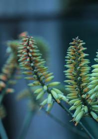 "Sunbird Aloes ""Morning Sky"""