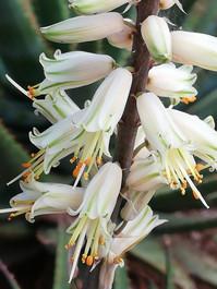 "Sunbird Aloes ""Tinkerbell"""