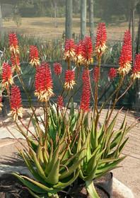 "Sunbird Aloes ""Hilko"""