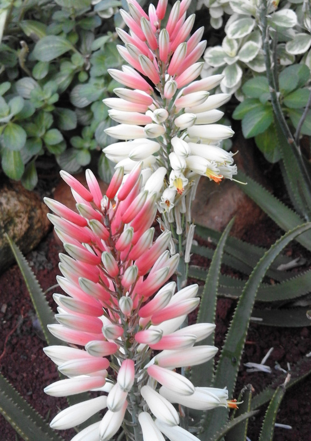 "Sunbird Aloes ""Candy Floss"""