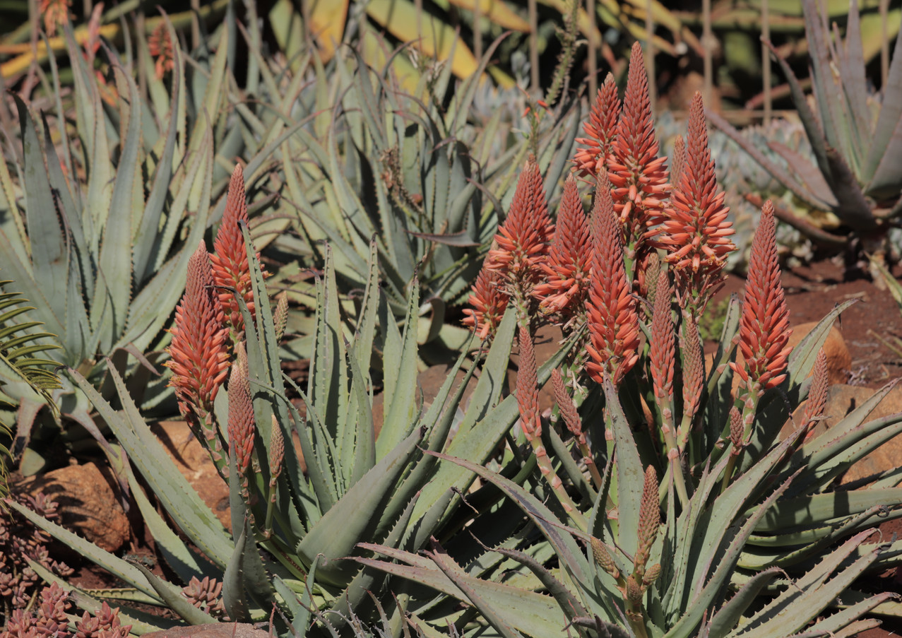 Sunbird Aloes 'Ember'
