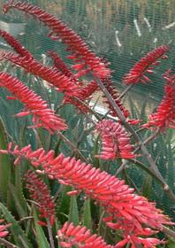 "Sunbird Aloes ""Angled Red"""