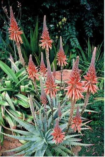 Sunbird Aloe Vinkel.jpg
