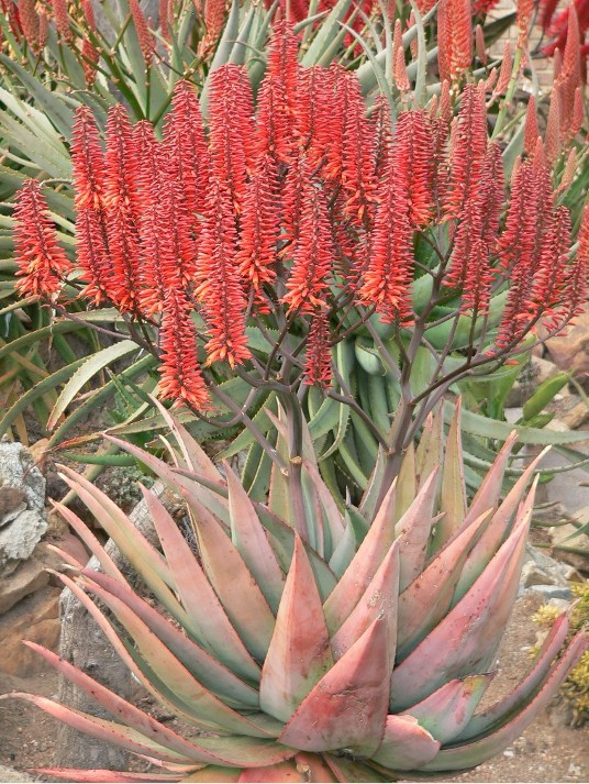"Sunbird Aloes ""Coral Red"""