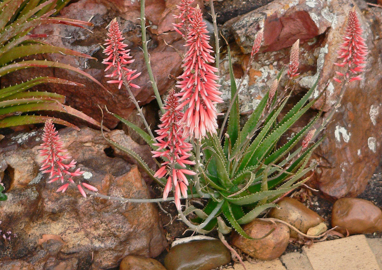"Sunbird Aloes ""Baby Blush"""