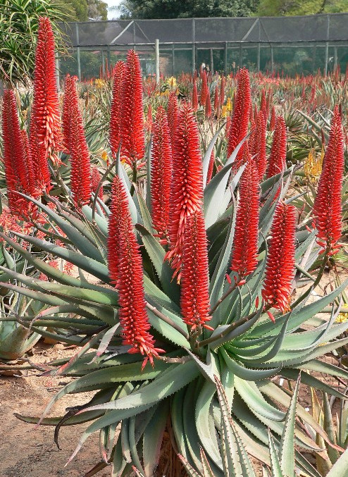 "Sunbird Aloes ""Norman's Red"""