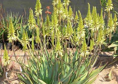 """Sunbird Aloes """"Sun King"""""""