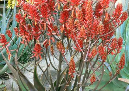 "Sunbird Aloes ""Ruby Blaze"""