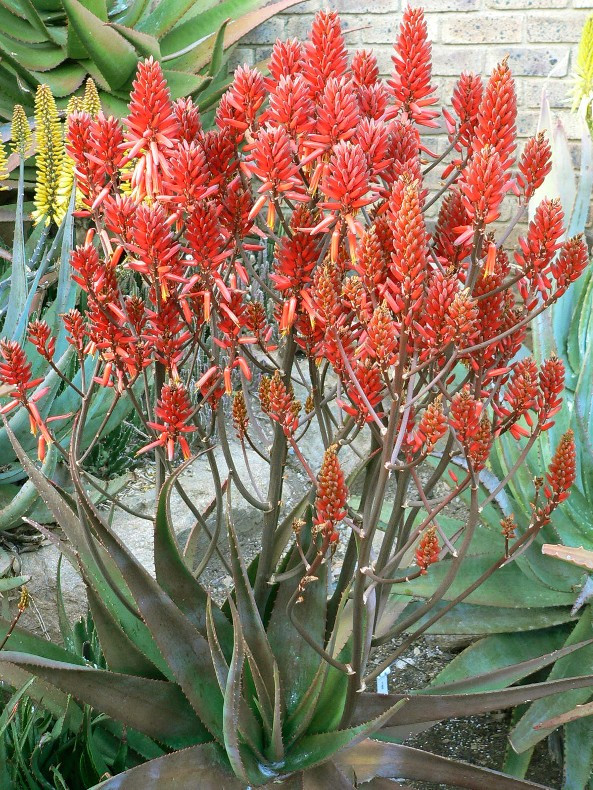 "Sunbird Aloes ""Ruby Blaze"""