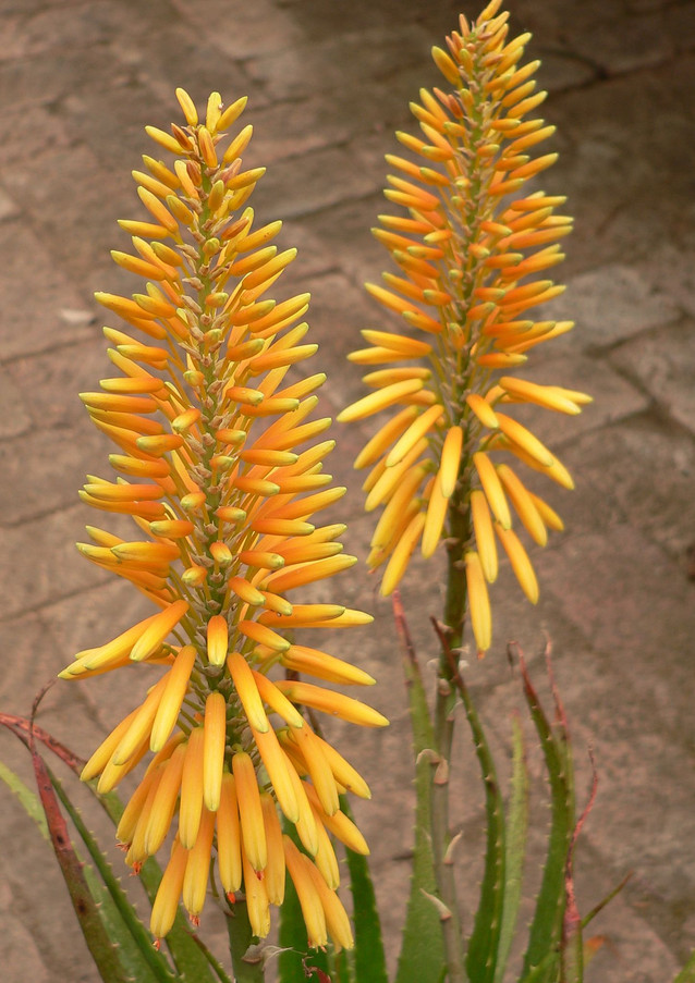 "Sunbird Aloes ""Citrine"""