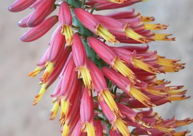 """Sunbird Aloes """"Red Dwarf"""""""