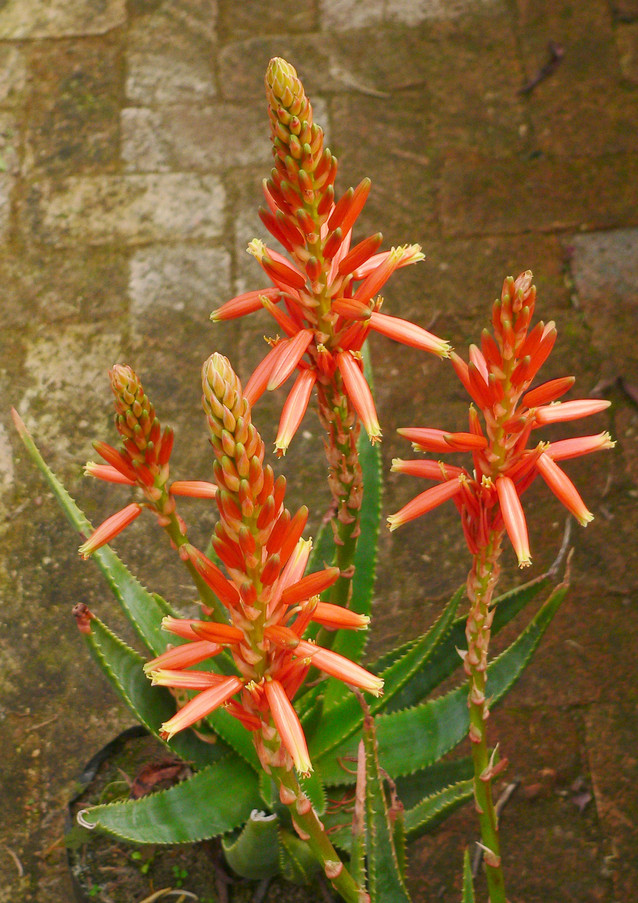"Sunbird Aloes ""Always Red"""