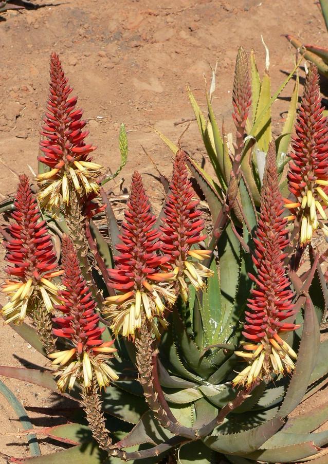 "Sunbird Aloes ""Spring Prize"""