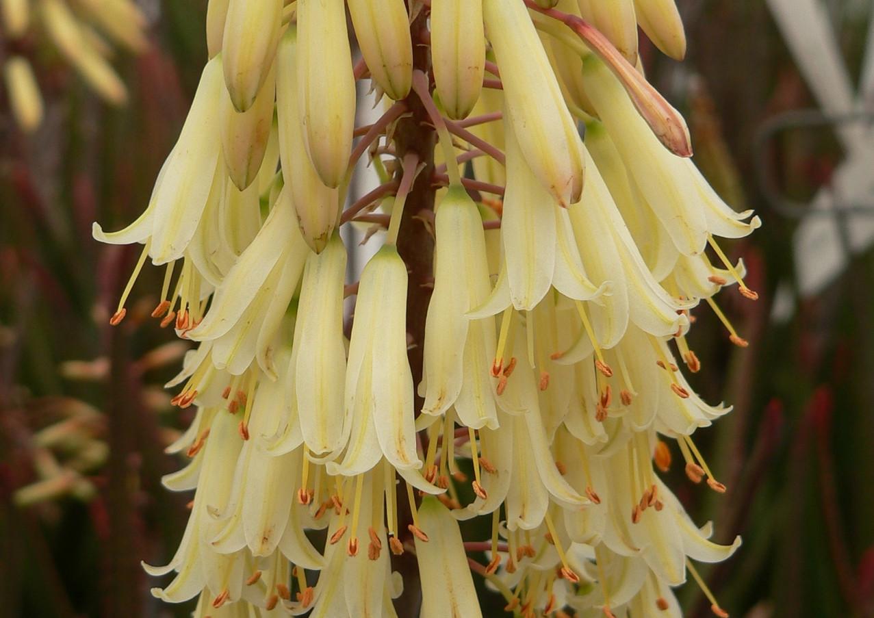 "Sunbird Aloes ""Winterbells"""