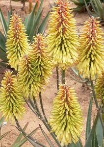 "Sunbird Aloes ""Moonglow"""