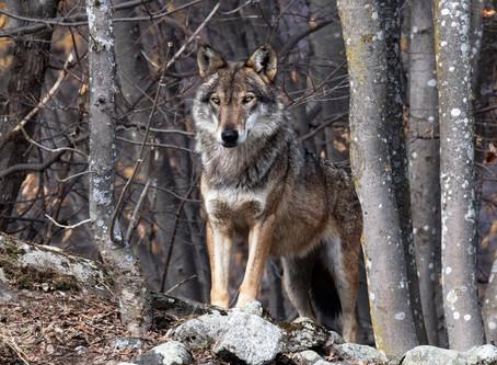 Как меня чуть волк не съел