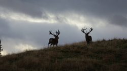 red stags1
