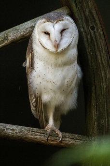 Barn Owl_01.jpg