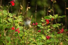 Brown thornbill_03.jpg