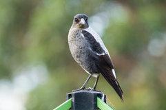 Australian magpie_04.jpg