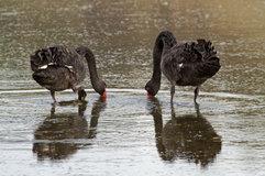 Black Swan_01.jpg