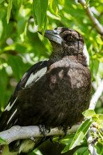 Australian Magpie_01.jpg