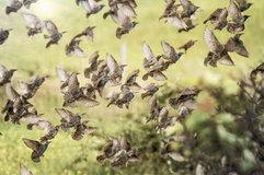 Common starling_02.jpg