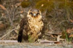 Brown falcon_02.jpg