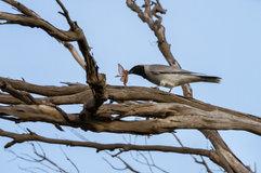 Black-faced cuckoo-shrike_01.jpg
