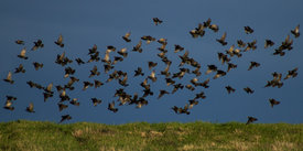 Common starling_01.jpg