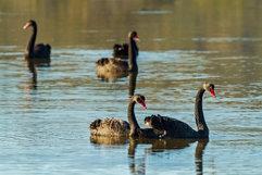 Black Swan_07.jpg