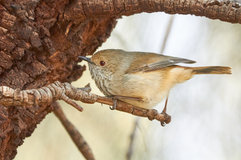 Brown thornbill_05.jpg