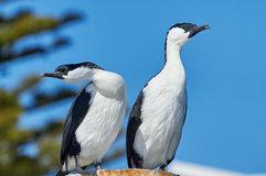 Black-faced cormorant_04.jpg