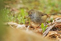 Brown thornbill_02.jpg