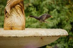Blackbird_02.jpg