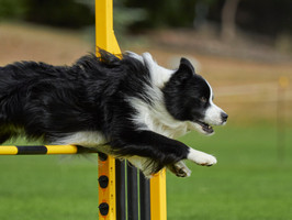 AGILITY and JUMPING DOGS
