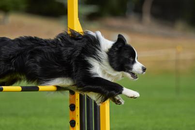 Buy Agility Dogs